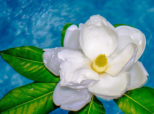 Magnolia 90
