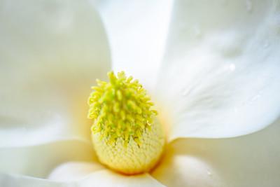 Magnolia 83