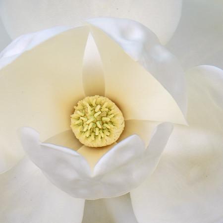 Magnolia 51