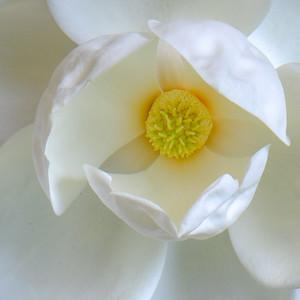 Magnolia 53