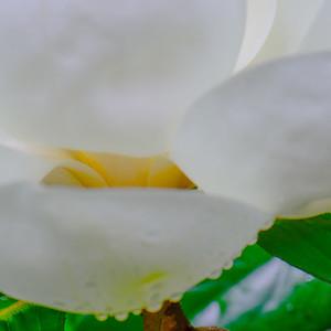 Magnolia 21