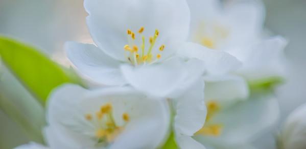 Apple Blossom 46