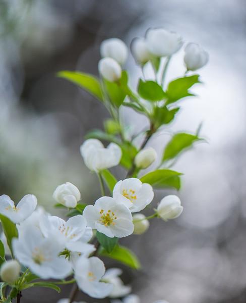 Apple Blossom 53