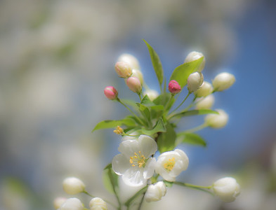 Apple Blossom 23