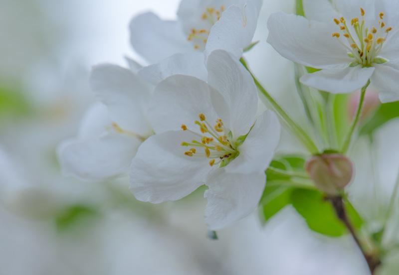 Apple Blossom 44