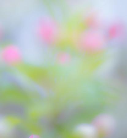Apple Blossom 20