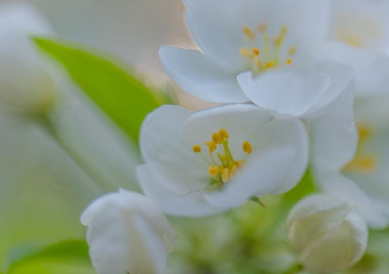 Apple Blossom 40