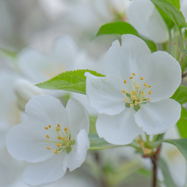 Apple Blossom 52