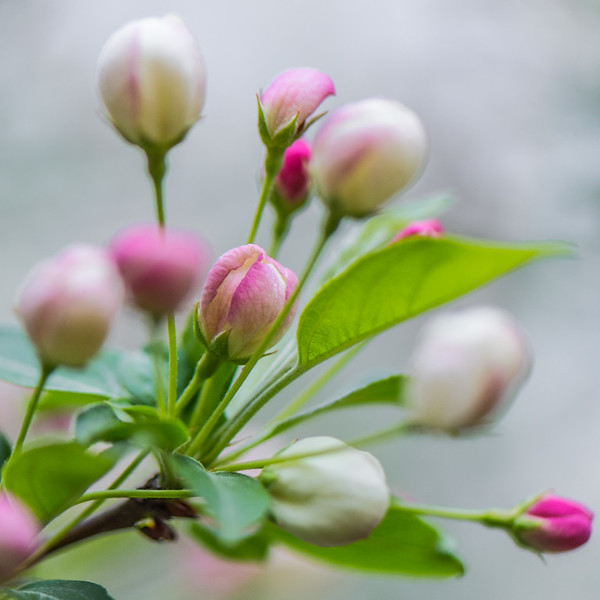 Apple Blossom 22