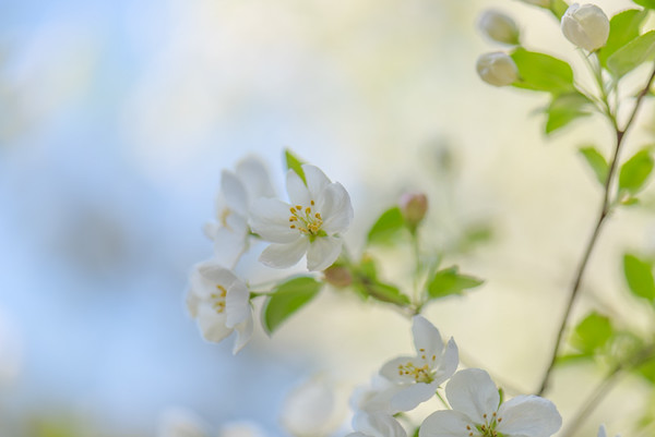 Apple Blossom 4