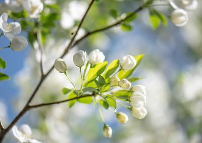 Apple Blossom 25