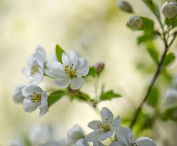 Apple Blossom 24