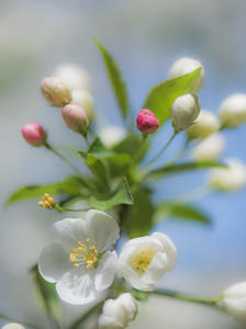 Apple Blossom 11