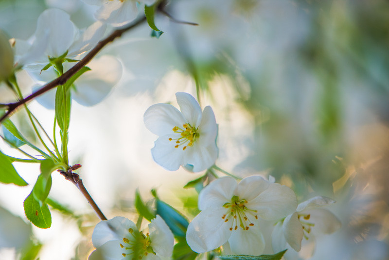 Apple Blossom 32