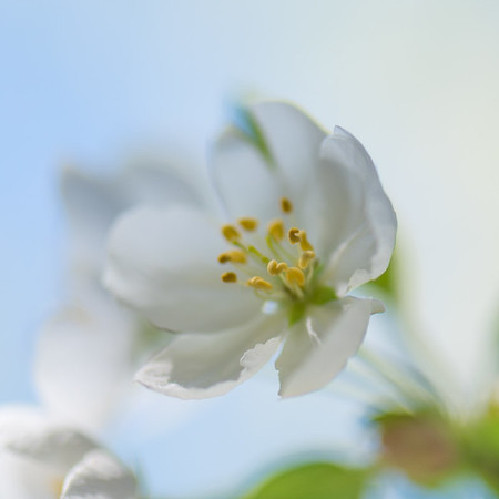 Apple Blossom 9