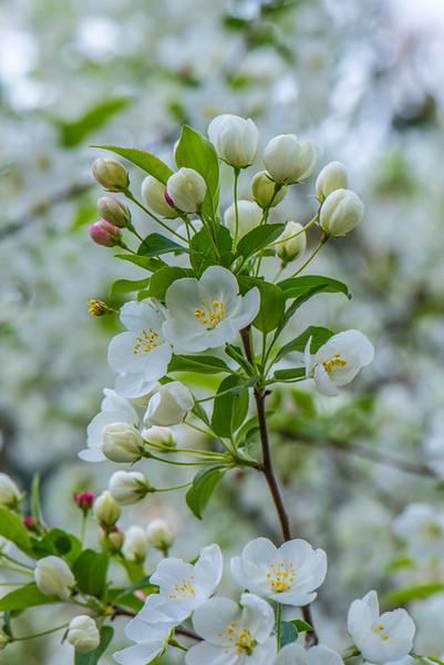 Apple Blossom 43
