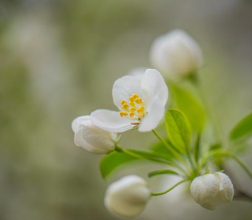 Apple Blossom 21