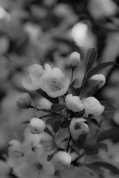 Apple Blossom 45