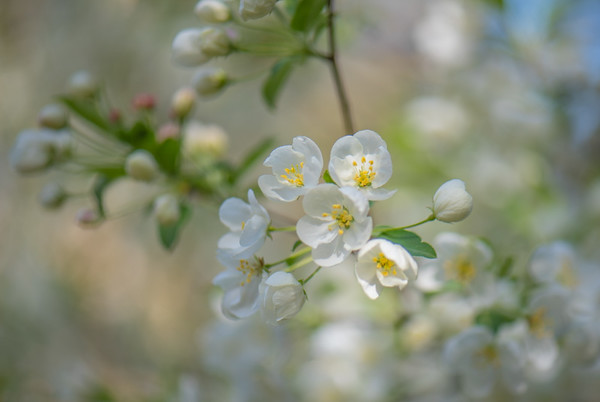 Apple Blossom 18