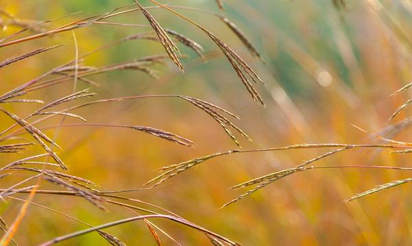 AUTUMN GRASS   15