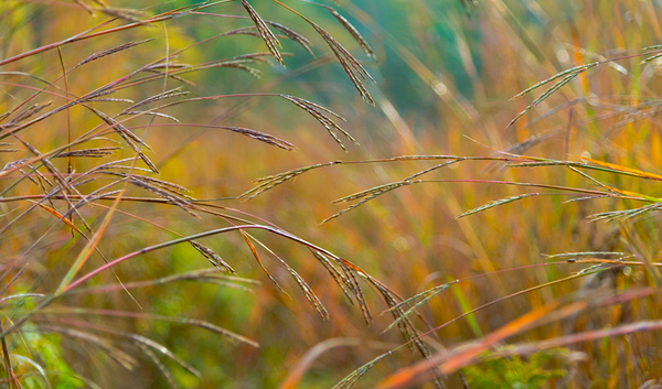 AUTUMN GRASS   1