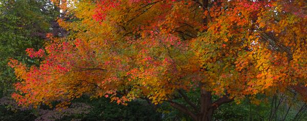 AUTUMN MAPLE  3
