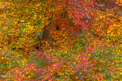 AUTUMN MAPLE  1