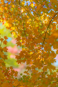 AUTUMN MAPLE  2