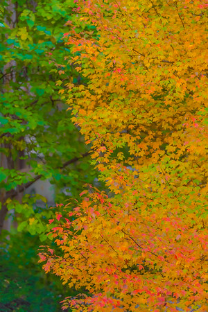 AUTUMN MAPLE  9