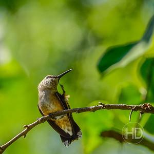 HUMMINGBIRD  21