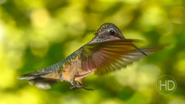 HUMMINGBIRD  14