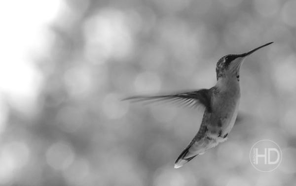 HUMMINGBIRD  24