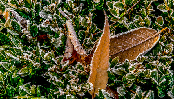 MORNING   FROST 8