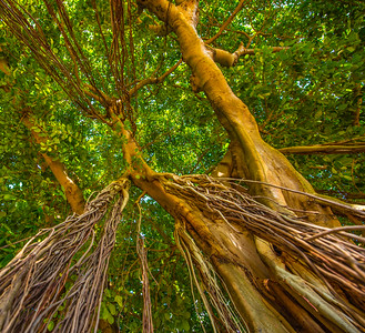 Banyan Tree 15