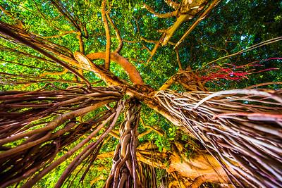 Banyan Tree 13