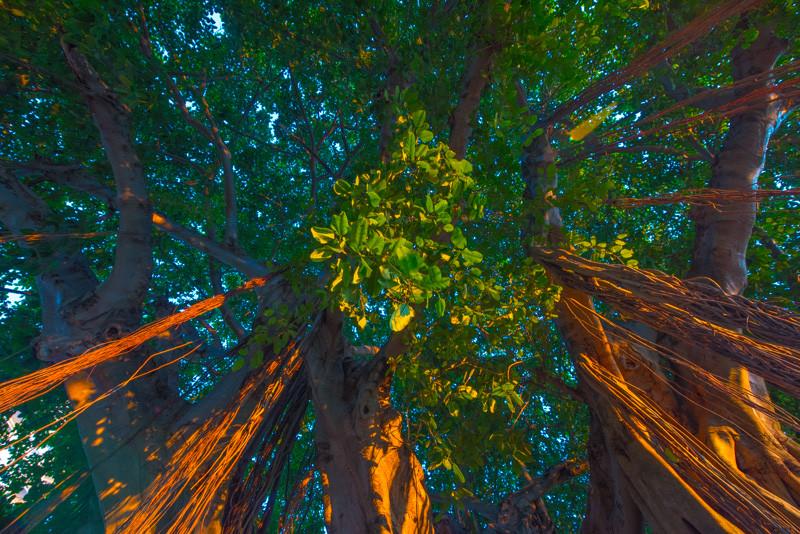 Banyan Tree 9