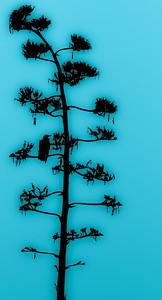Santa Barbara CROW IN TREE