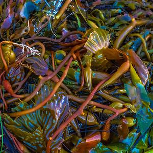 Santa Barbara Sea Weed 7