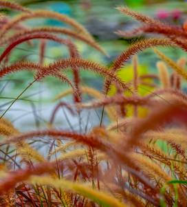 LILY GRASS KOI   2