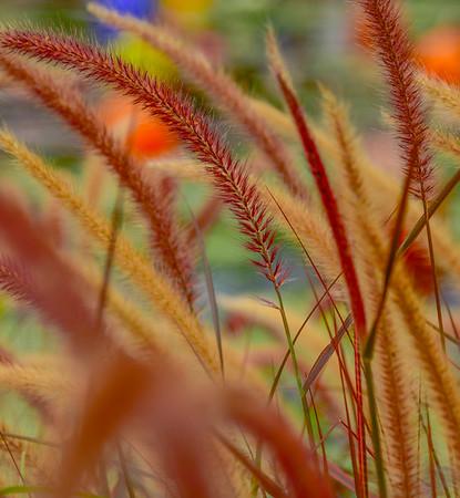 LILY GRASS KOI   8