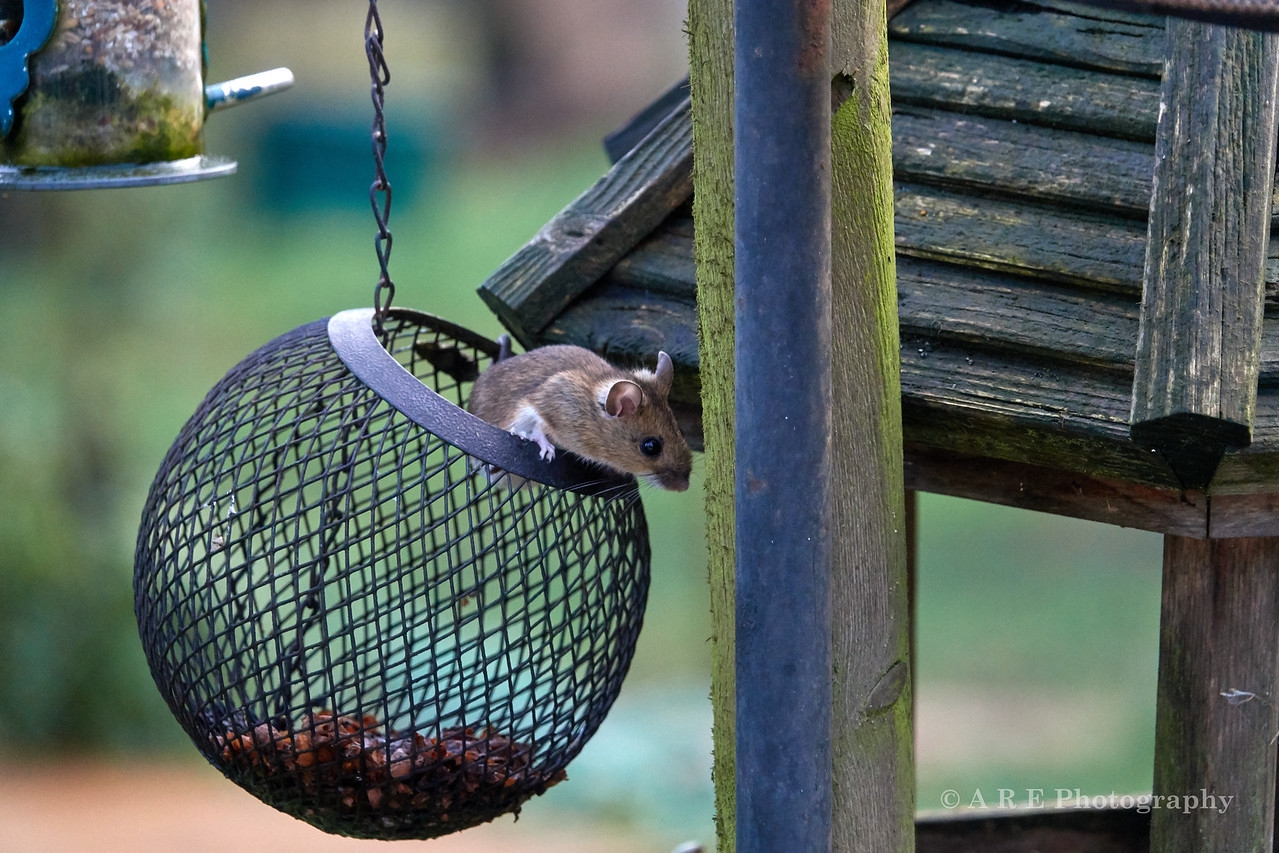Mouse in the Feeder