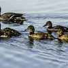 young mallard ducks