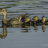 mallard duck and ducklings