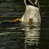 Mallard Duck bottom up