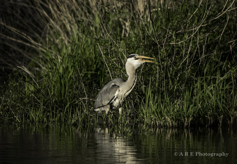Gray heron catching a perch