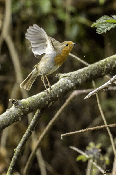Robin take off