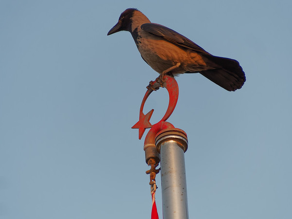 black Crow raven sitting on top of a pole on a clear day
