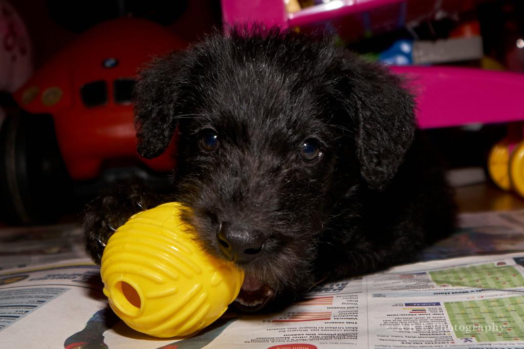Black Terrier Puppy