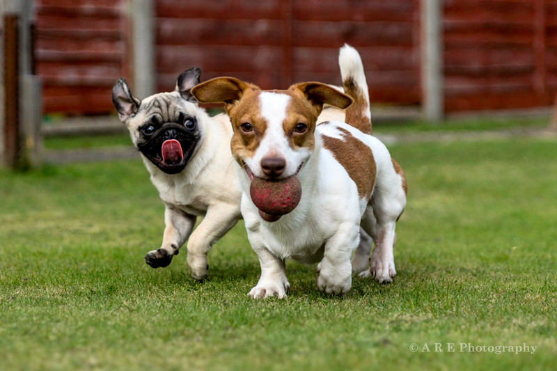 Jack Russell and Pug