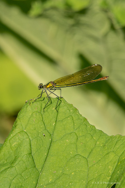 green damselfly